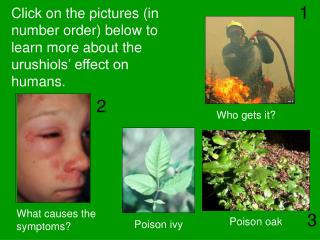Click on the pictures (in number order) below to learn more about the urushiols' effect on humans.