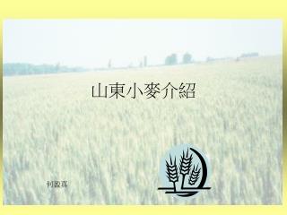 山東小麥介紹