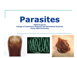 Parasites PEER Program College of Veterinary Medicine and Biomedical Sciences Texas AM University