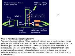 "What is ""oxidative phosphorylation""?"