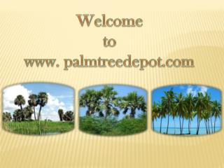 Palm Tree Depot Delivers Sabal Palms South Carolina