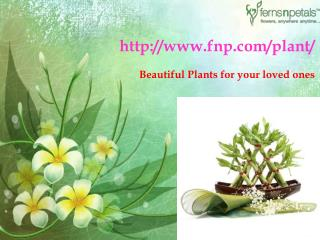 Buy Online Beautiful Plants
