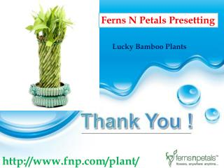 Good Luck Bamboo Plant Buy