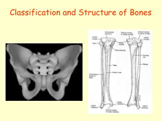 Classification and Structure of Bones