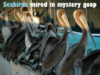 Seabirds mired in mystery goop
