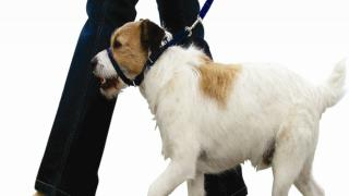 Dog Training With A Head Collar Training
