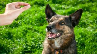 Dog training - Teaching a puppy to accept his collar and lea