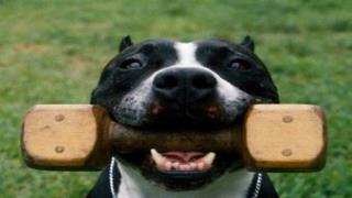 Housebreaking Your Pit Bull Terrier - Puppy Dog Training