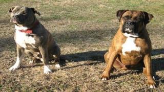 Pit Bull Terrier Dog Agility Training
