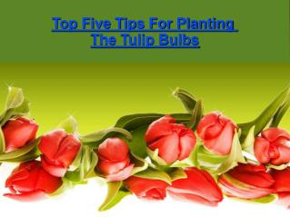 Top Five Tips For Planting The Tulip Bulbs