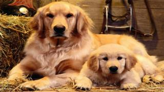Grooming Your Golden Retriever
