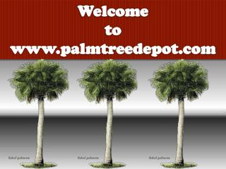 Variety of Palm Trees to Sale in North Carolina