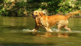 Socializing Your Golden Retriever