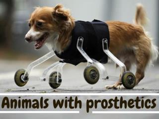 Animals with prosthetics