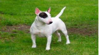 American Pit Bull Dog Obedience Training
