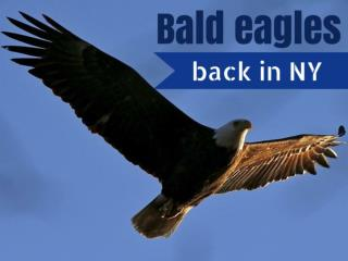 Bald eagles back in NY