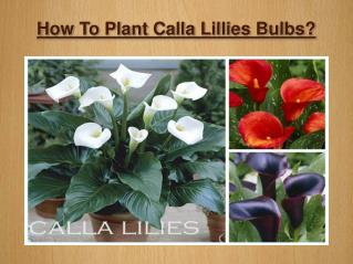 How To Plant Calla Lillies Bulbs?