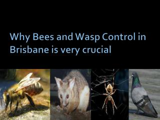 Why Bees and Wasp Control in Brisbane is very crucial