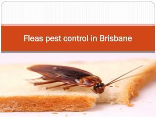 Fleas pest control in Brisbane