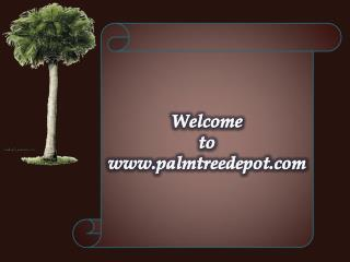 Variety of Palm Trees to Sale in North & South Carolina