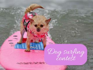 Dog surfing contest