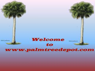 Sabal Palm Trees for Sale South & North Carolina