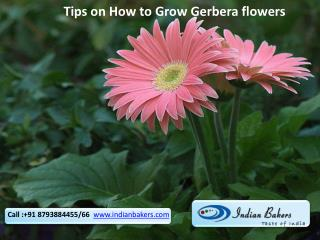 Tips on How to Grow Gerbera Flowers/Buy Gerbera Flowers Online