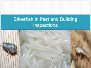 Silverfish in Pest and Building Inspections