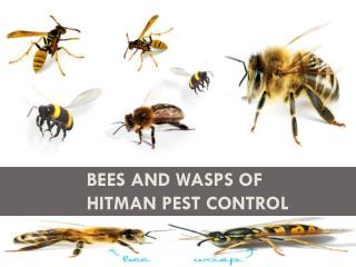 Bees and Wasps of Hitman Pest Control