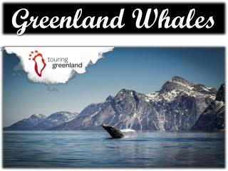 Greenland whales