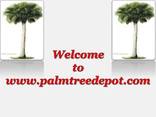 Sabal Palms at Palm Tree Depot