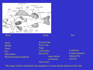 The shape of fish is dictated by the properties of water and the lifestyle of the fish