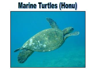 Marine Turtles Honu