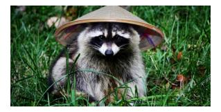 Raccoon Removal Experts