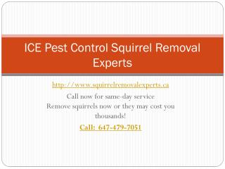 ICE Pest Control Squirrel Removal Experts| Professional squirrel removal Toronto