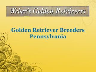Golden Retriever Breeders Pennsylvania