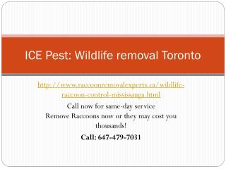 wildlife removal services| Raccoon control Mississauga