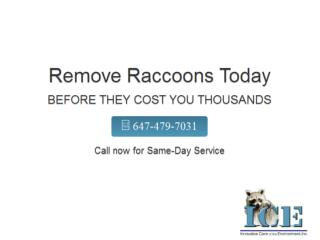 Wildlife Removal Toronto| Raccoon Removal Experts Brampton