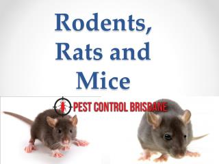 Rodents, Rats and Mice