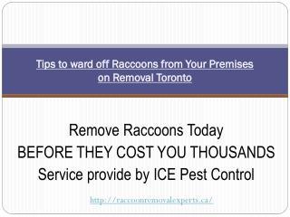 Raccoon Removal Toronto| Humane Raccoon Removal Toronto