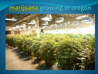 marijuana growing in oregon