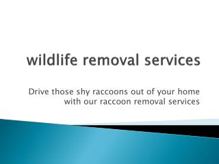 Raccoon control Mississauga| Wildlife removal Toronto