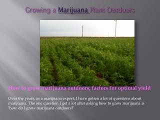 Growing a Marijuana Plant Outdoors