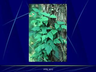 PPRL 2010 The Pathophysiology of Poisonous Plant Intoxication