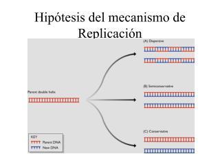Hip tesis del mecanismo de Replicaci n