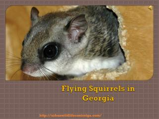 Facts About Flying Squirrel in Georgia