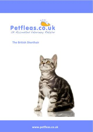 Cat Breeds: The British Shorthair