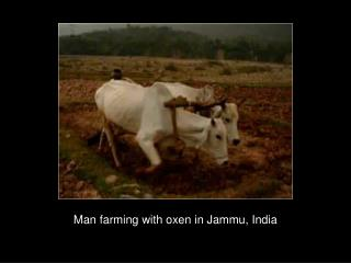 Man farming with oxen in Jammu, India
