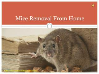 Mice Removal From Home