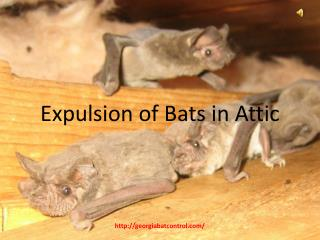 Expulsion of Bats in Attic